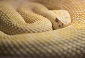 Albino Western Diamond Back Rattlesnake