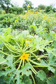 Zucchini Plant with Flower