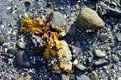 Seaweed and Barnacles on Rock