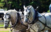 picture of bridle  - Carriage ride with two bridled white horses - JPG