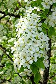Flowering pear tree branch