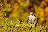 Peregrine Falcon Sitting On The Ground