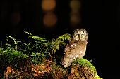 stock photo of small-hawk  - Boreal Owl standing on the moss in the wood - JPG