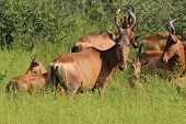 Wildlife Background from Africa - Red Hartebeest - Family Gathering