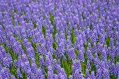 Bluebells in the spring garden
