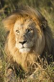 African Lion (panthera Leo) Portrait South Africa