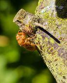 Cicada Empty Shell