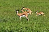 Springbok - Wildlife Background from Africa - Nature's Motion and Speed