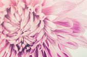 stock photo of chrysanthemum  - Chrysanthemum flower macro flower in the nature or in the garden - JPG