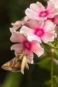 stock photo of gamma  - Quick moving Migratory moth Silver Y or Autographa gamma butterfly feeding on pink Phlox flowers in summer