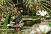 Black Crake Preening On A Lily Pad