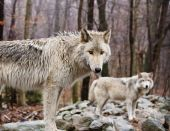 Lakota Wolves