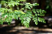 Branches And Leaves Of Moringa Tree