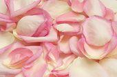 rose 14