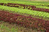?ows Of Fresh Lettuce Plants