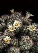 Blooming Mammillaria Cactus