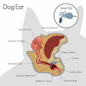 Structure of dog ear