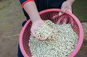 dried arabica coffee beans