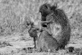 Baboon Family Play To Strengthen Bonds And Having Fun Nature  Artistic Conversion