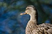 Profile Of Female Mallard Duck