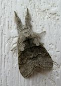 Grey Moth On White Wood
