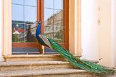 pic of manor  - Peacock on the stair of the manor house - JPG