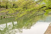 Cherry trees planted on the shore and the reflection on the water in Kyoto.