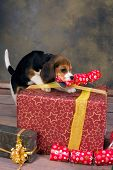 Seven weeks old adorable little beagle puppy stealing a christmas gift