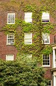 foto of ivy vine  - Ivy covered brick walls of a dorm building at Portland State University in downtown Portland Oregon - JPG