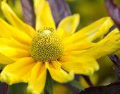 Yellow Flower Macro Not Isolated