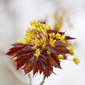 Flower of a red maple, Acer rubrum, in the early spring.