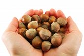 picture of hazelnut tree  - Human hands holding heap of hazelnut, isolated in white background
