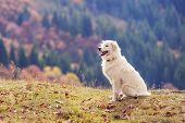 white shepherd dog close up