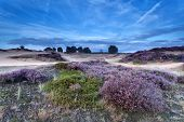 Heather Flowering On Sand Dunes