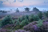Flowering Heather In Misty Morning