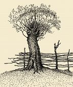 Old Tree Near The Fence