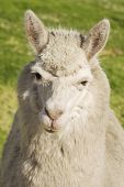 stock photo of lamas  - Close up of lama laying on the grass Arequipa Peru - JPG