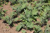 Kale growing in field or vegetable garden