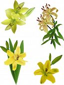 illustration with yellow lily flowers isolated on white background