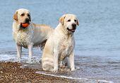 Labrador At The Sea With A Ball