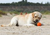 Labrador Playing With An Orange Ball
