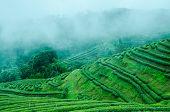 Green Tea Farm On Moutain