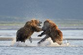 picture of omnivore  - Two Grizzly Bears (Ursus arctos) fighting in water