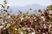 picture of ethiopia  - Cotton field near Weita - JPG