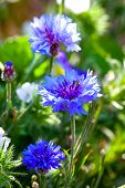 Blue Cornflowers Growing In A Field. Small Depth Of Sharpness