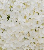Flower Of Hydrangea