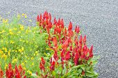 Red Celosia Flower