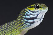 Dagger-tooth snake / Rhamnophis aethiopissa