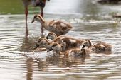 picture of baby goose  - Baby Egyptian goose go for a swim on their own in dangerous wild water - JPG