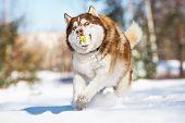 siberian husky dog in winter